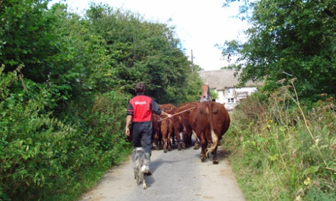 moving-cattle-to-yard-reduced.jpg