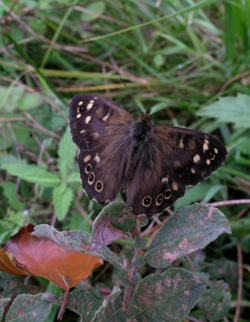 speckled-wood-hollow-moor-3-sept-2006-reduced.jpg