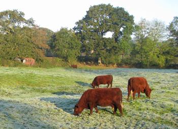 devon-cattle-2-frosty-morning-lew-meadows-20-oct-07-reduced.jpg
