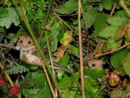 juvenile-dormice-3-five-corners-28-sept-08-reduced